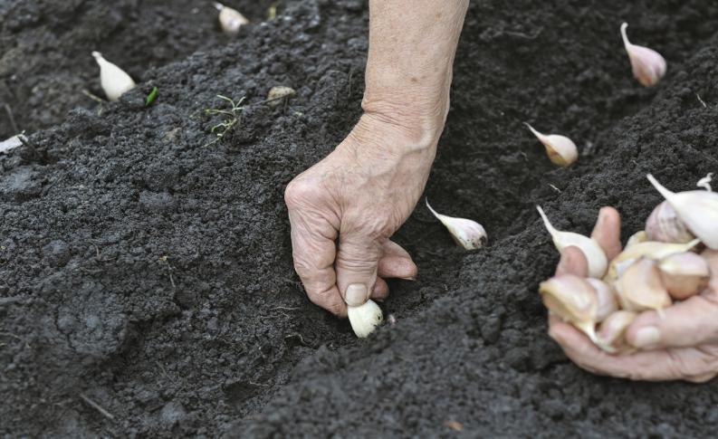 Cómo sembrar ajos