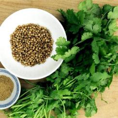 Como sembrar cilantro