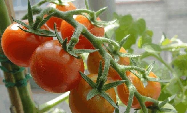 Como sembrar tomate en macetas hidrop nico y mas - Cuando plantar tomates ...