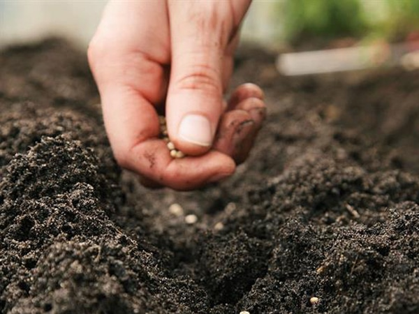 como sembrar frijol
