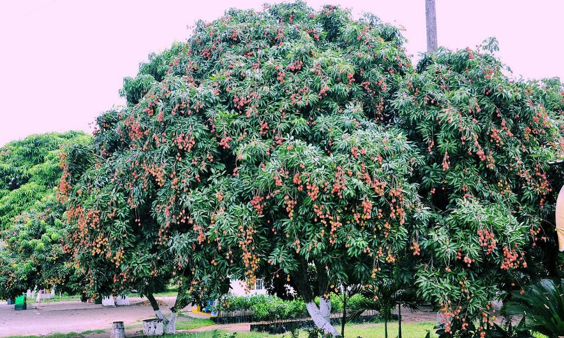 como sembrar mango