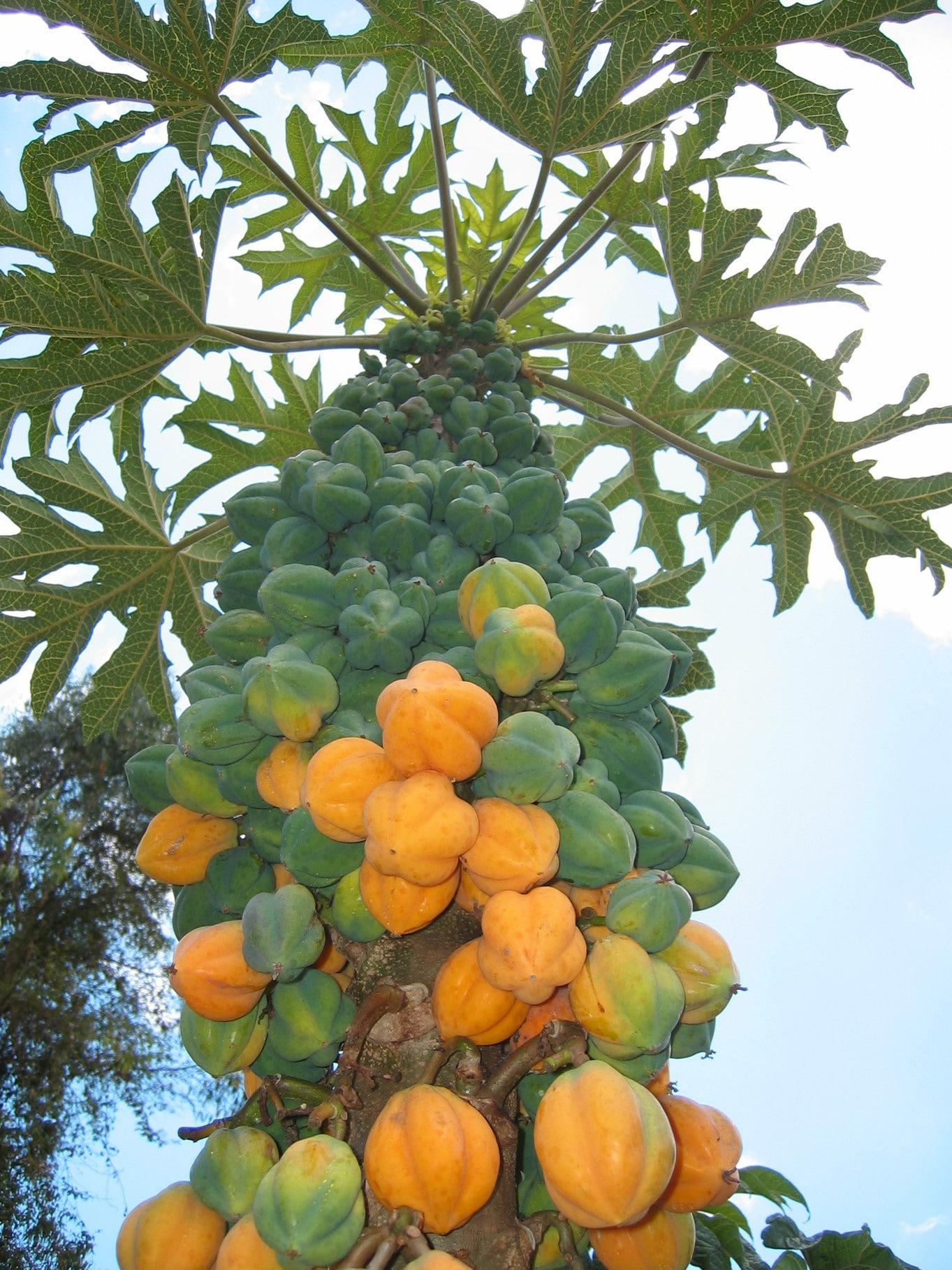 Caracteristicas de la papaya transgenica