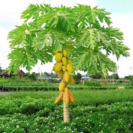 como sembrar papaya