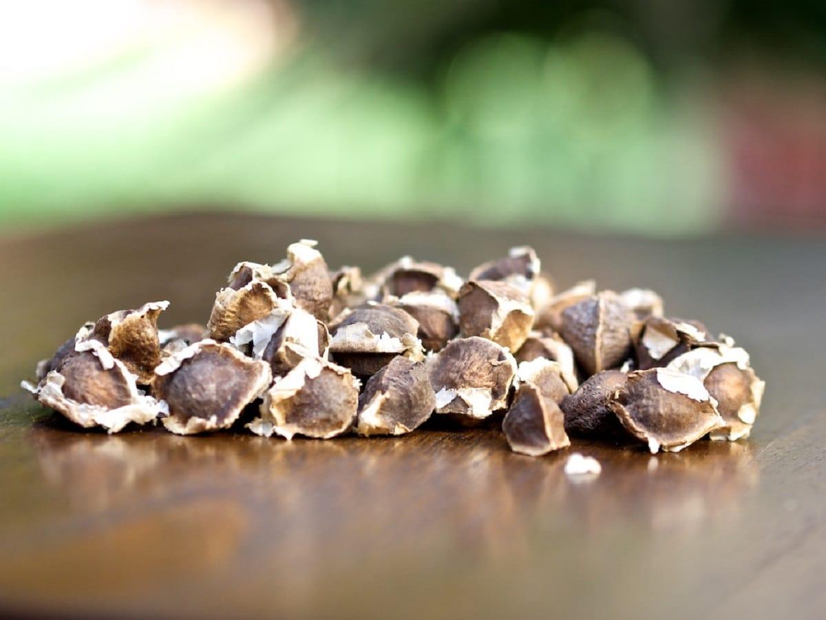 las semillas de moringa