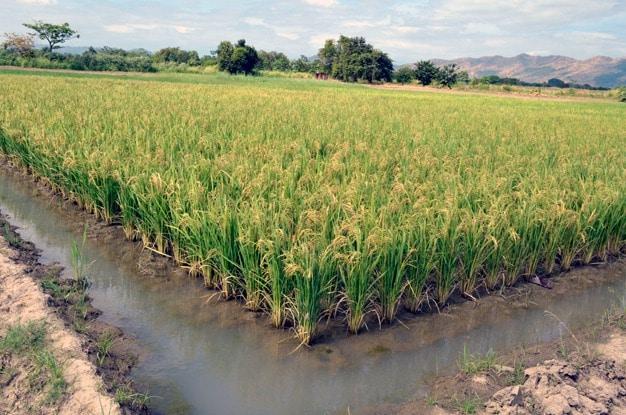 Como Se Siembra El Arroz Integral - ¿Cuál Es El Ciclo Del Agricultura Del  Arroz?