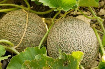 Como Sembrar Melon