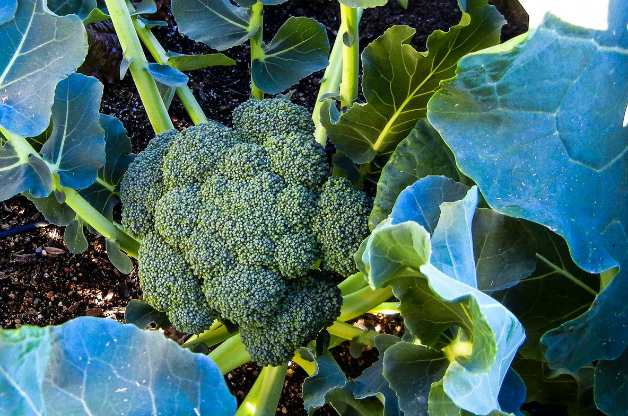 Como cultivar Brocoli