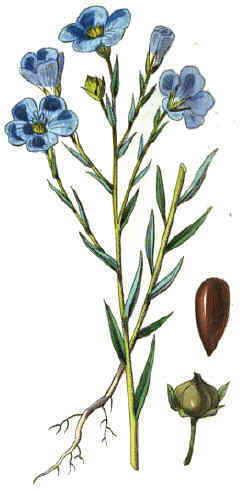 Semillas de lino 2