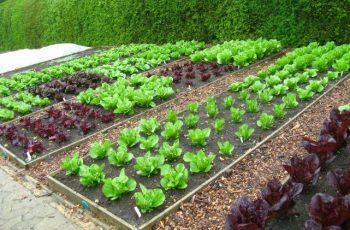 como sembrar acelga
