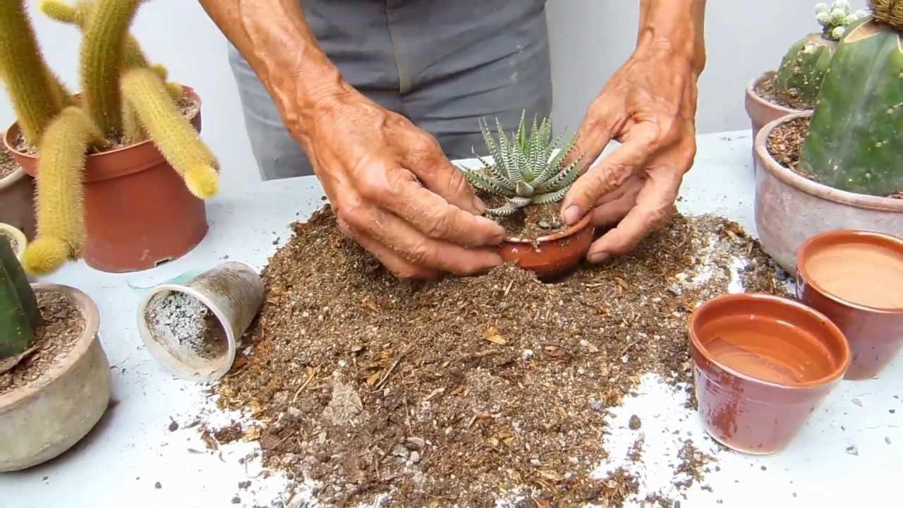 como sembrar cactus 1