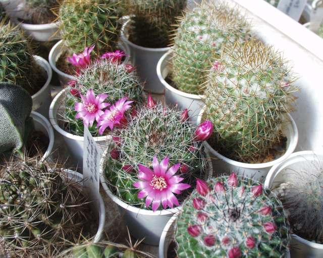 como sembrar cactus 3