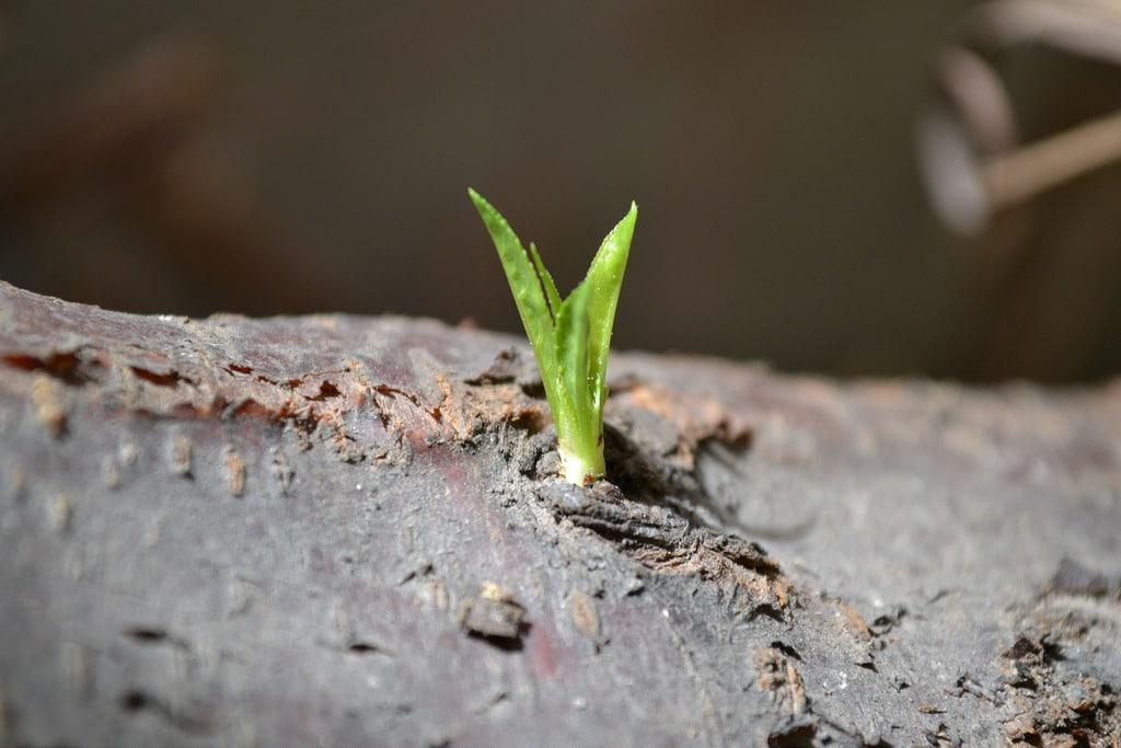 como sembrar duraznos