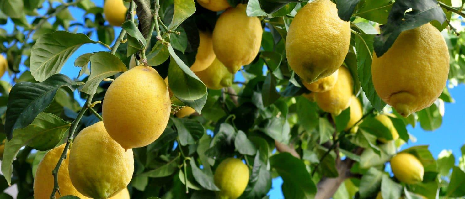 como sembrar limón