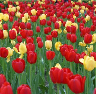 Como sembrar Tulipanes: lo que aun no sabes sobre las diferentes formas de hacerlo