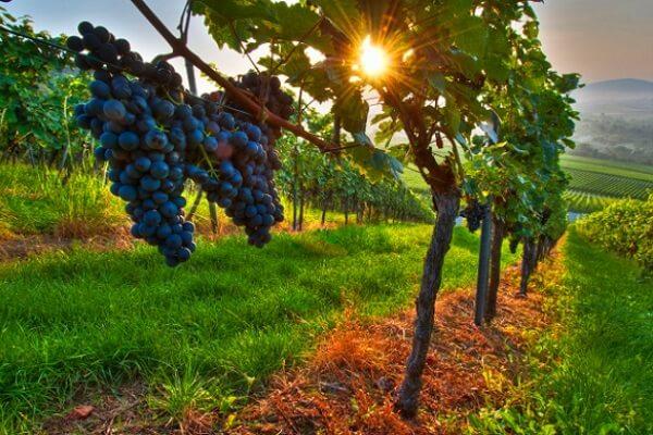 como sembrar uvas