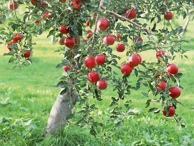 como sembrar manzanas