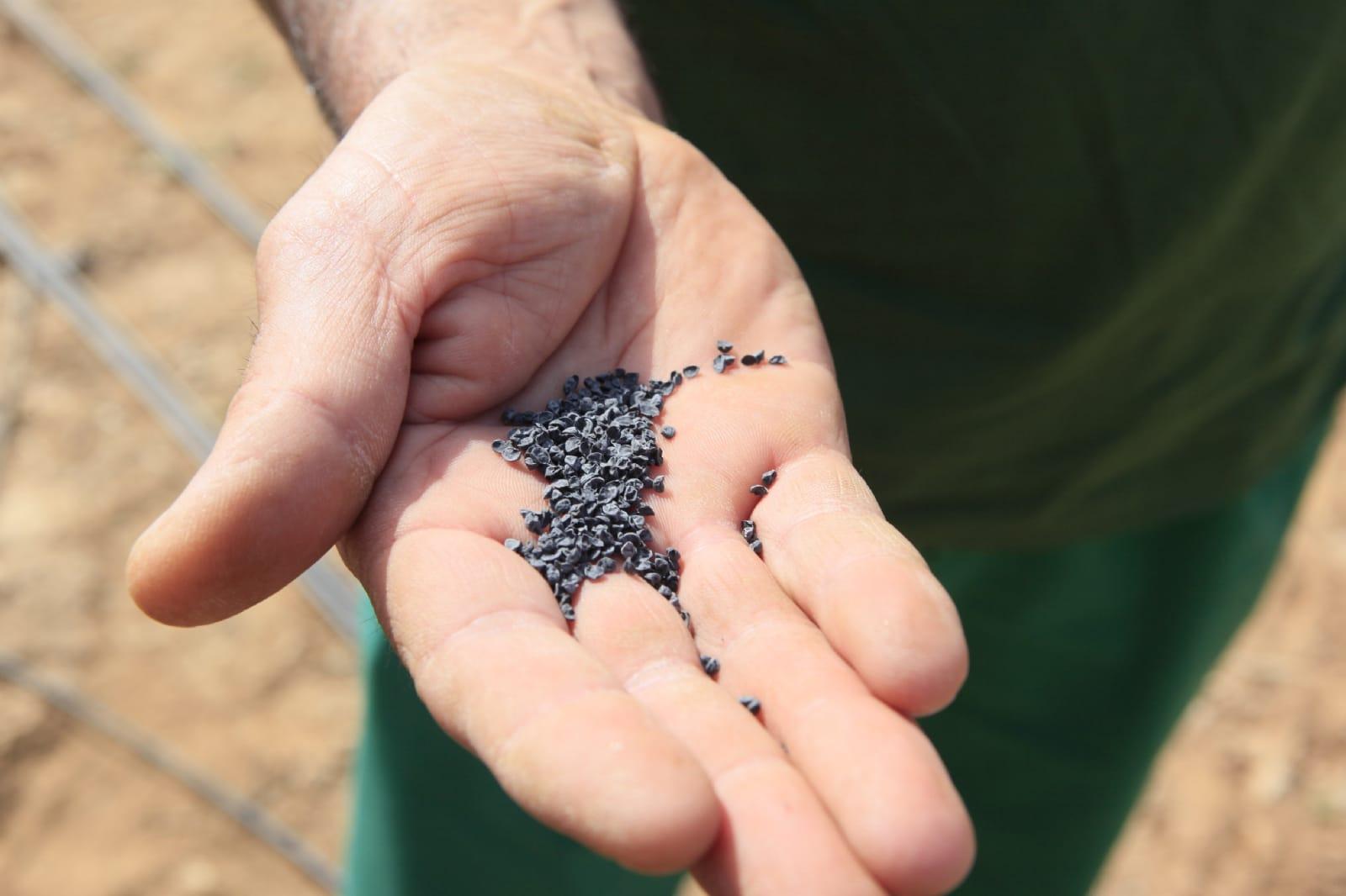 las semillas de cebolla