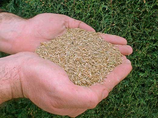 semillas de cesped