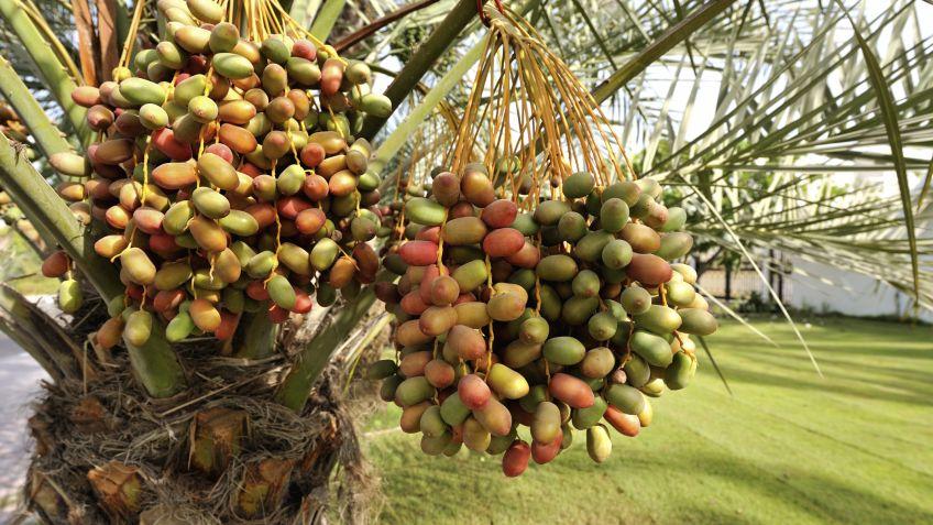 semillas de palmeras