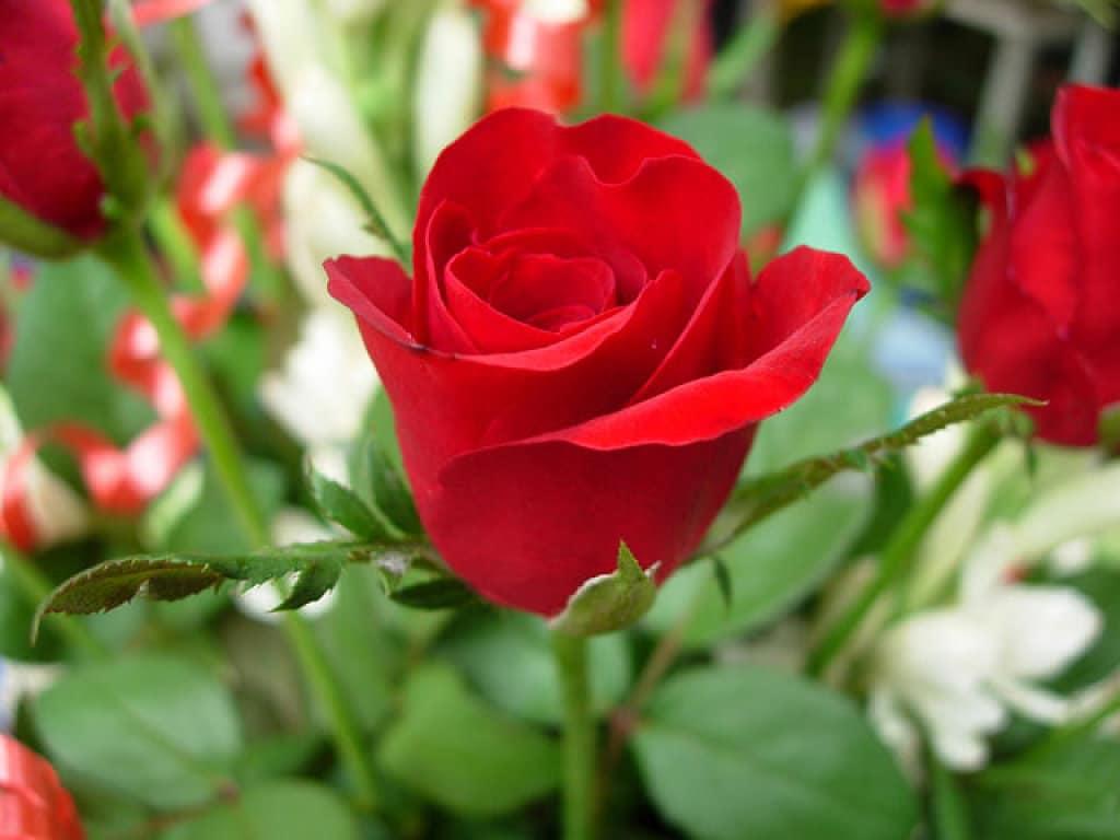 semillas de rosas 1