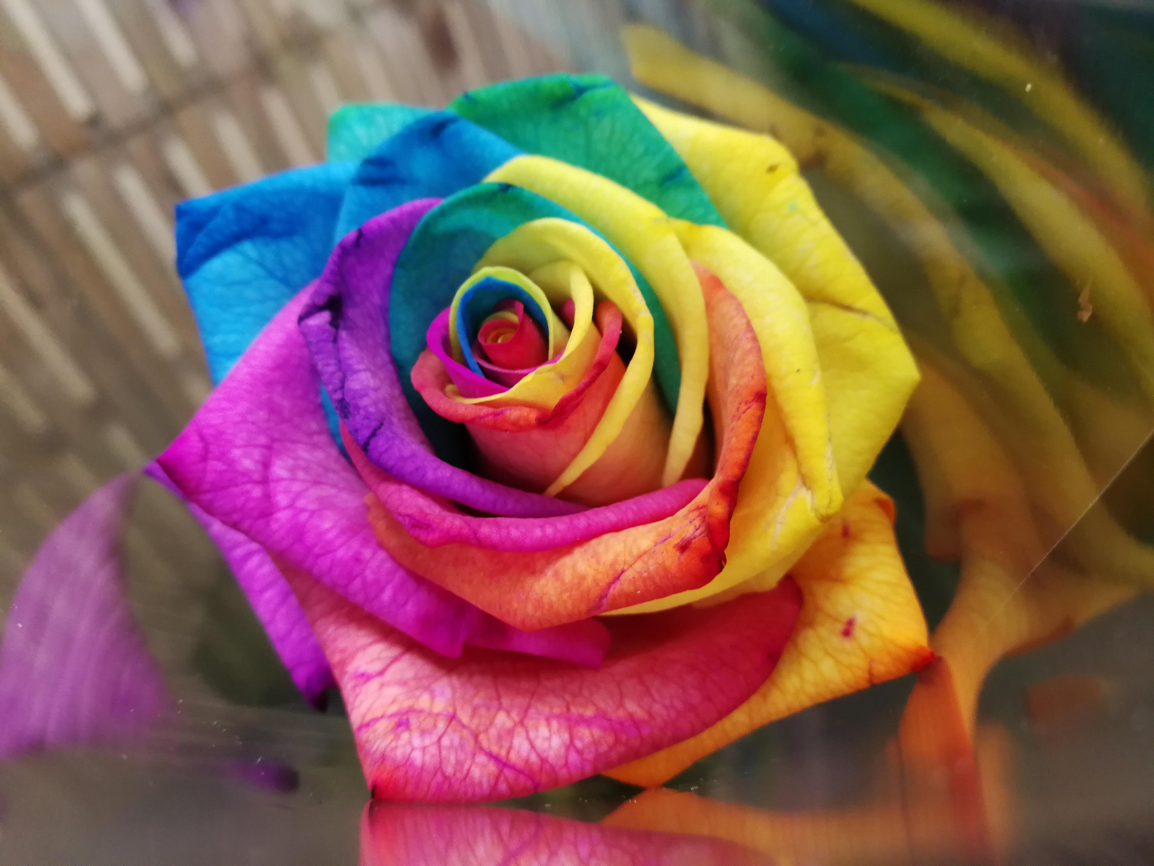 Descubre todo sobre las semillas de rosas - Fotos de rosas de colores ...