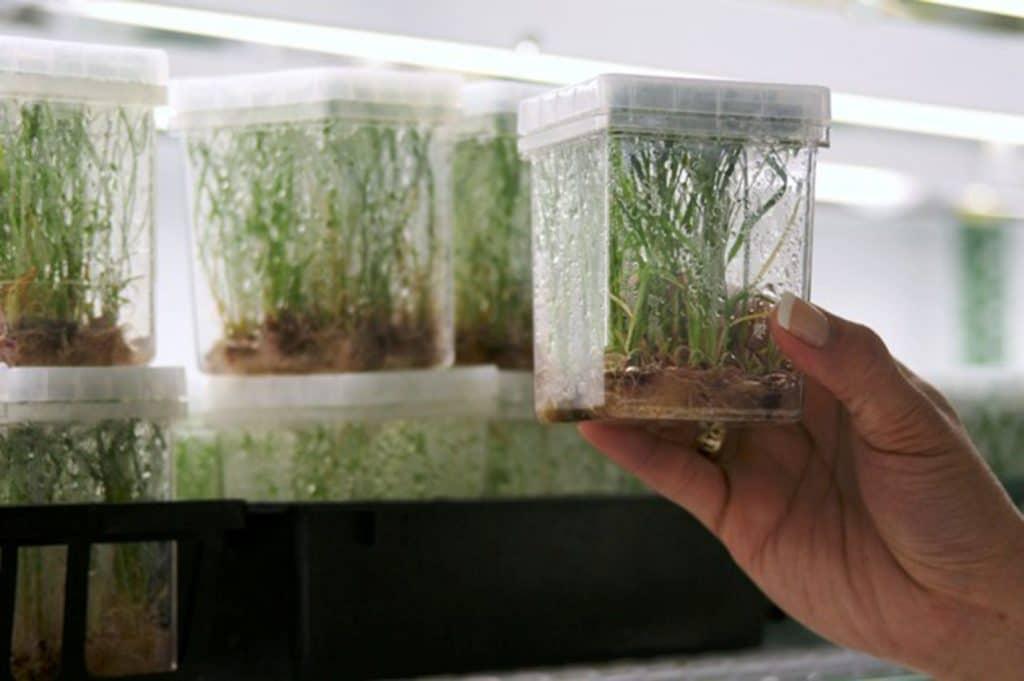 Cultivo In Vitro