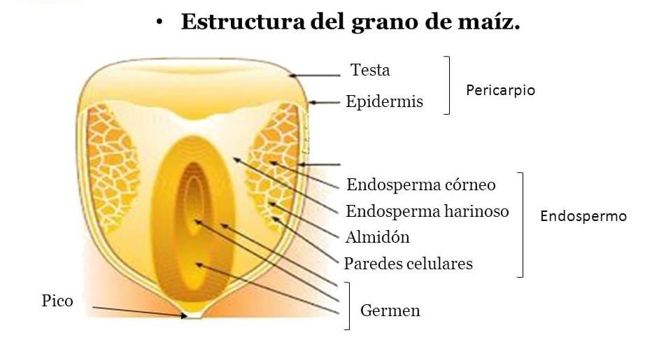 Resultado de imagen para partes de una semilla