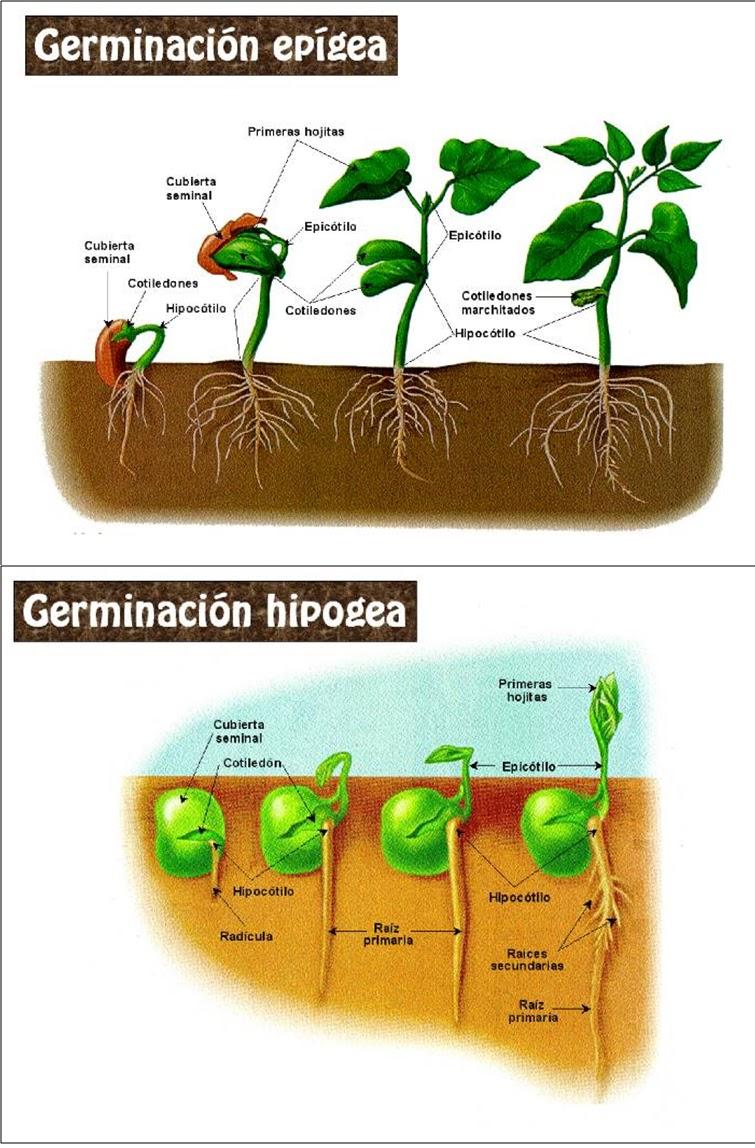 Tipos de Germinacion