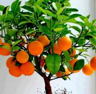 Árbol de Naranja: Nombre científico, Características, cuidados y más