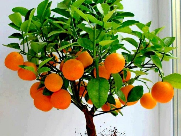 árbol de naranja