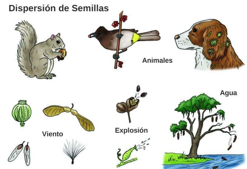dispersíon de semillas