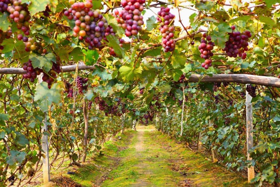 viticultura 1