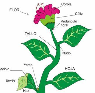 Aprende todo sobre los Órganos de las Plantas y mucho más