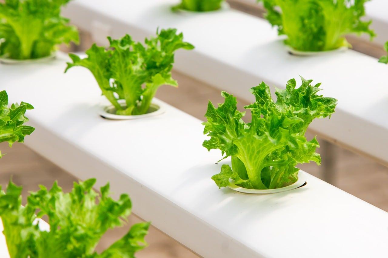 cultivos hidroponicos de lechuga