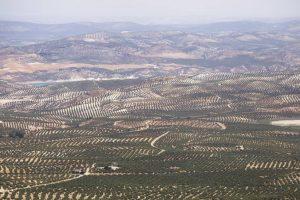 Córdoba y su olivares